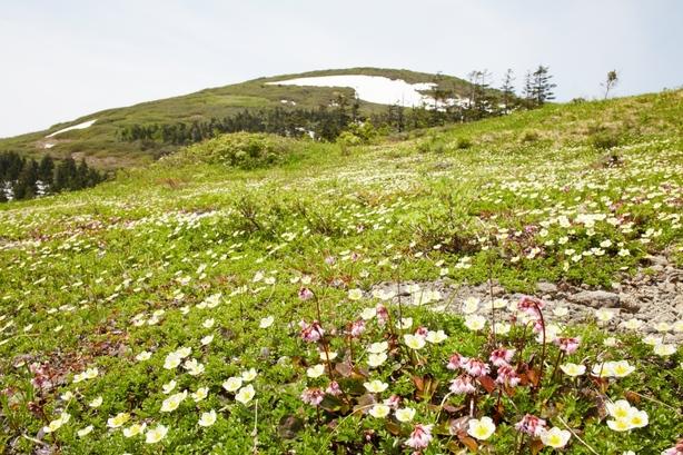 花が満開の森吉山